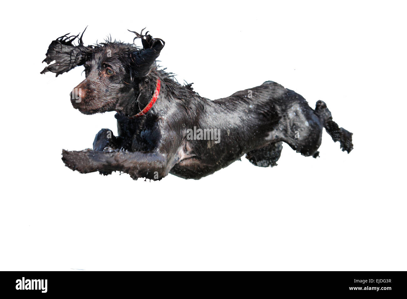 a wet young brown working type cocker spaniel puppy leaping - Stock Image