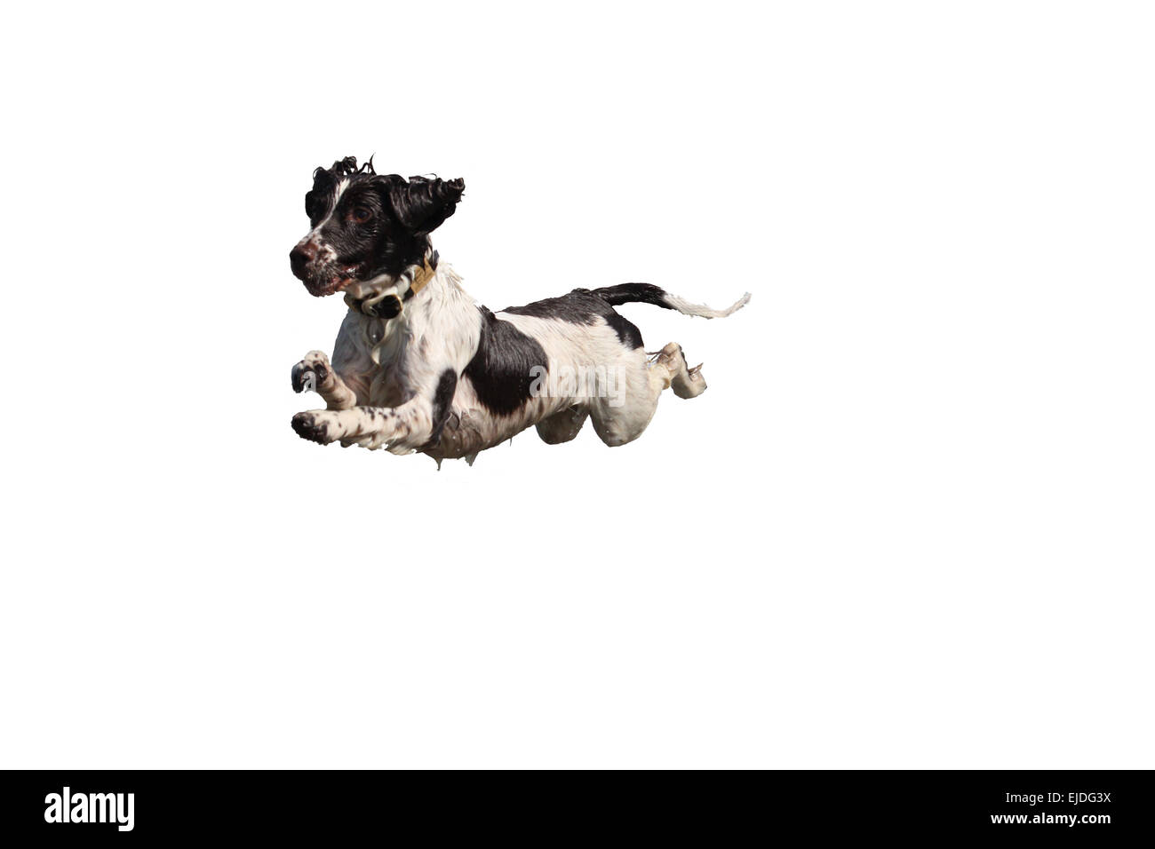 liver and white working type english springer spaniel pet gundog leaping into the sea - Stock Image
