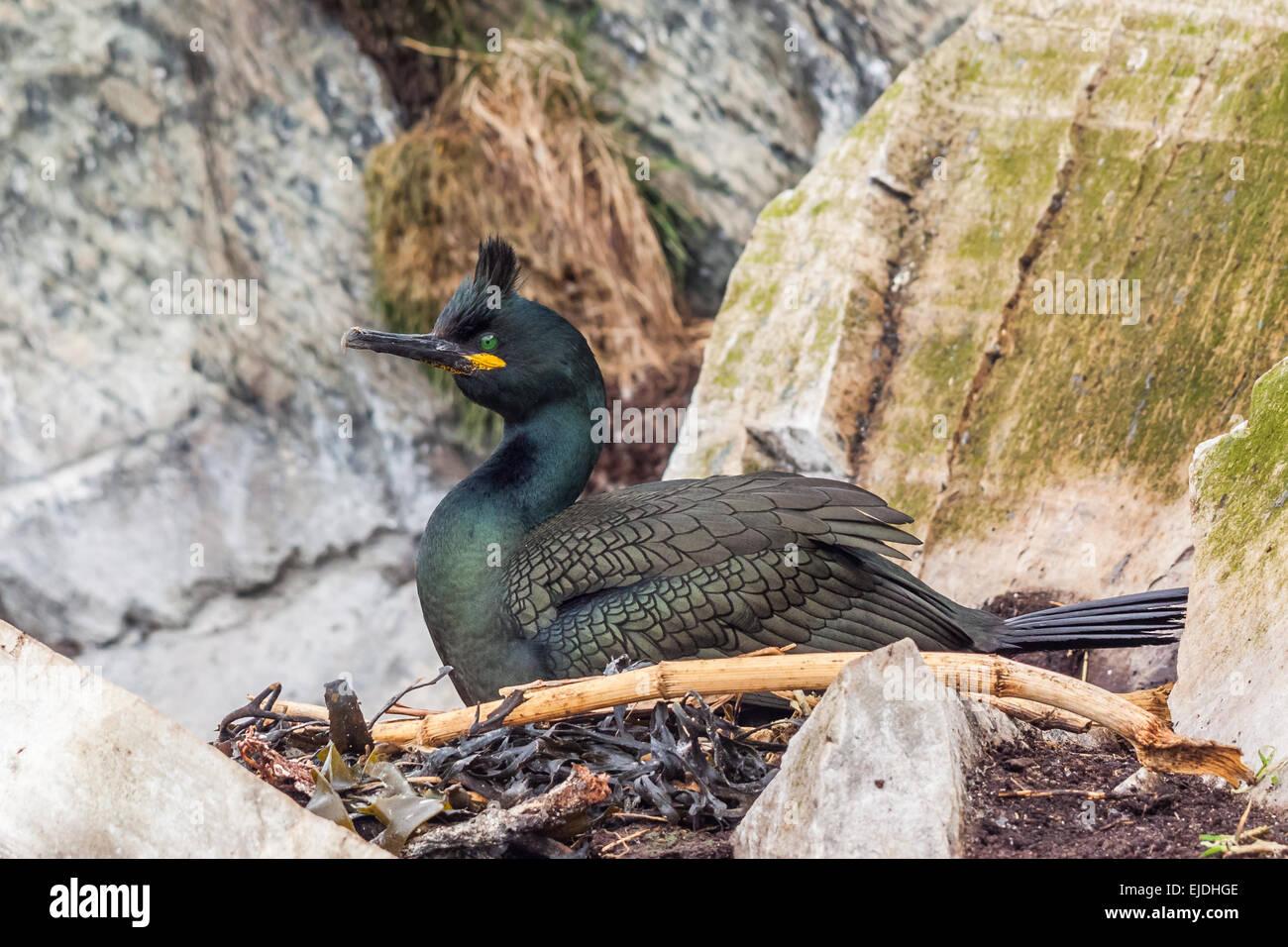 European shag (Phalacrocorax aristotelis) Stock Photo