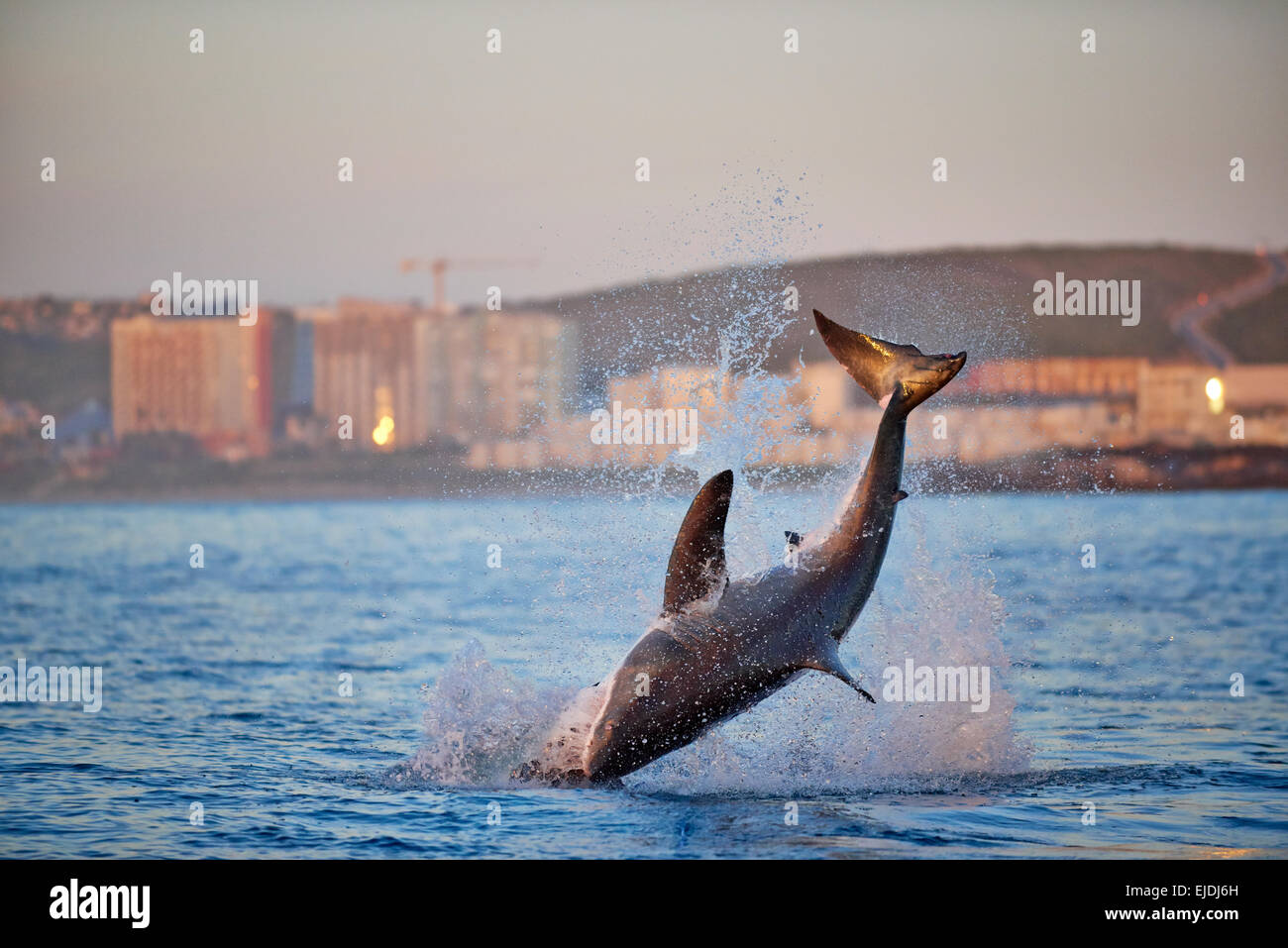 Great White Sharks Jumping Stock Photos & Great White Sharks
