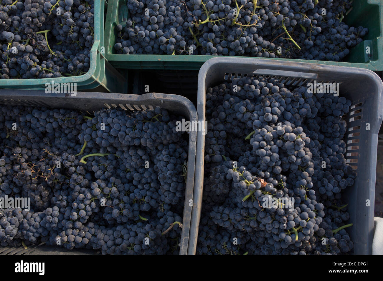 Plastic trays with bunches of black grape arrange side by side. - Stock Image