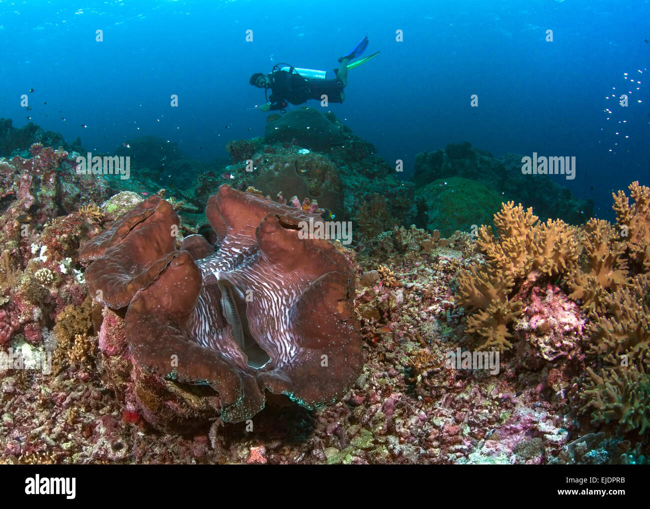 Scuba diver hovers over red giant clam. Spratly Islands, South China Sea. July, 2014. - Stock Image
