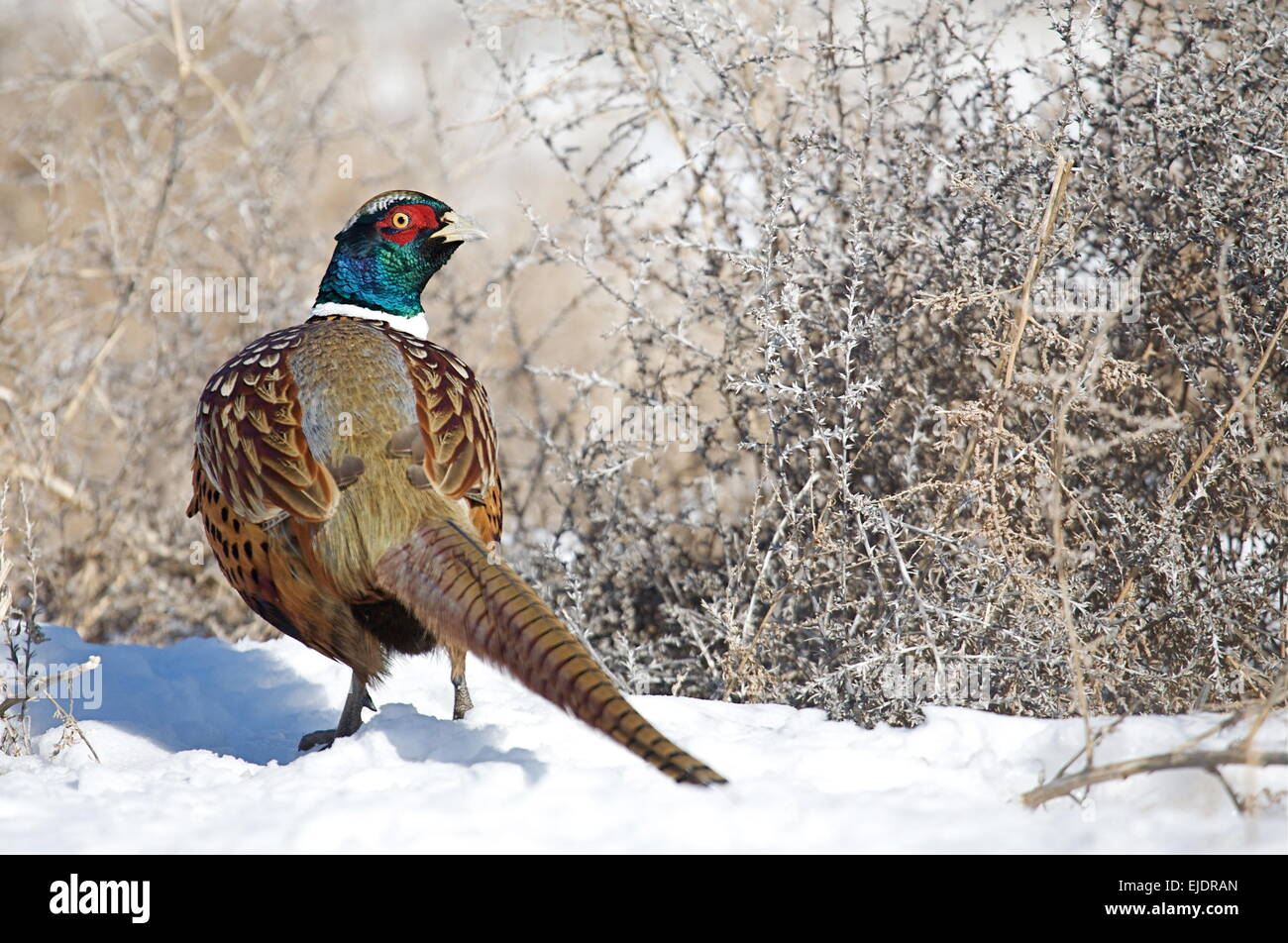 Ring-necked a.k.a. Ringneck Pheasant in winter snow with head turned back showing top side of the bird's plumage - Stock Image