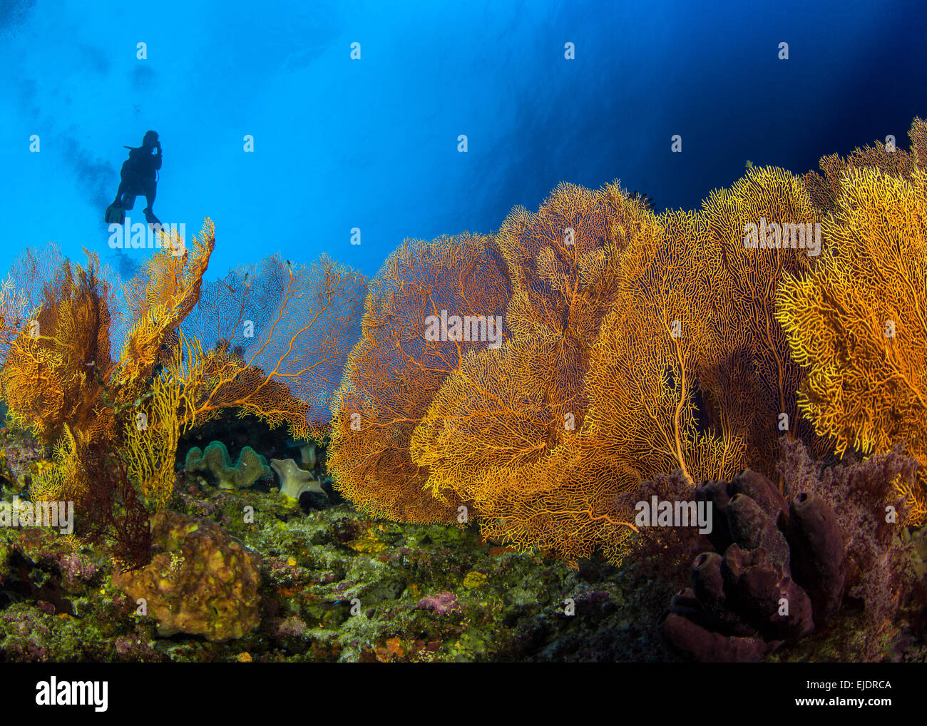 Scuba diver in silhouette ascends over colony of large golden sea fans. Spratly Islands, South China Sea. - Stock Image