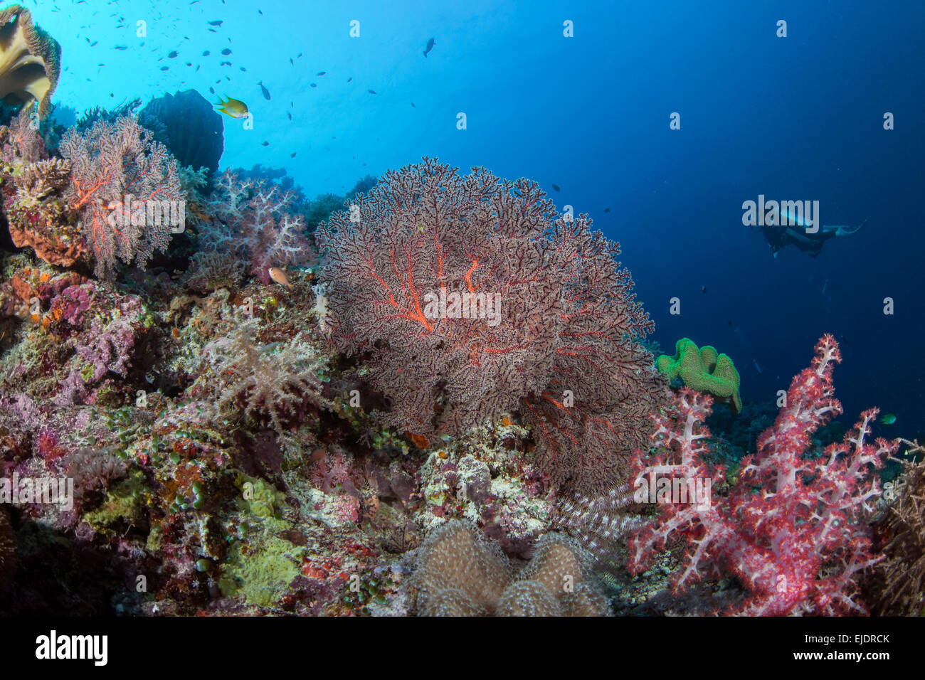 Scuba divers explore a coral reef with soft corals in a variety of pastel colors. Spratly Islands, South China Sea. - Stock Image