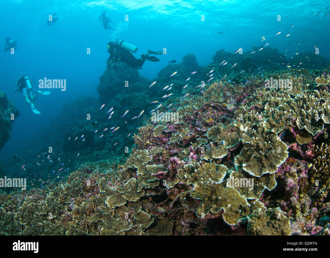 Scuba divers swim over hard coral reef (Montipora sp.). Spratly Island, South China Sea. - Stock Image