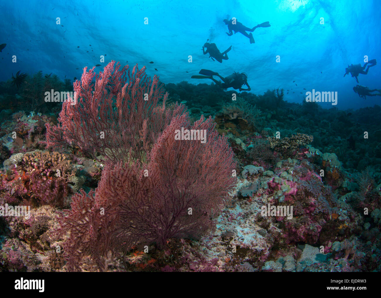 Scuba divers explore reef with red sea fans. Spratly Islands, South China Sea. - Stock Image