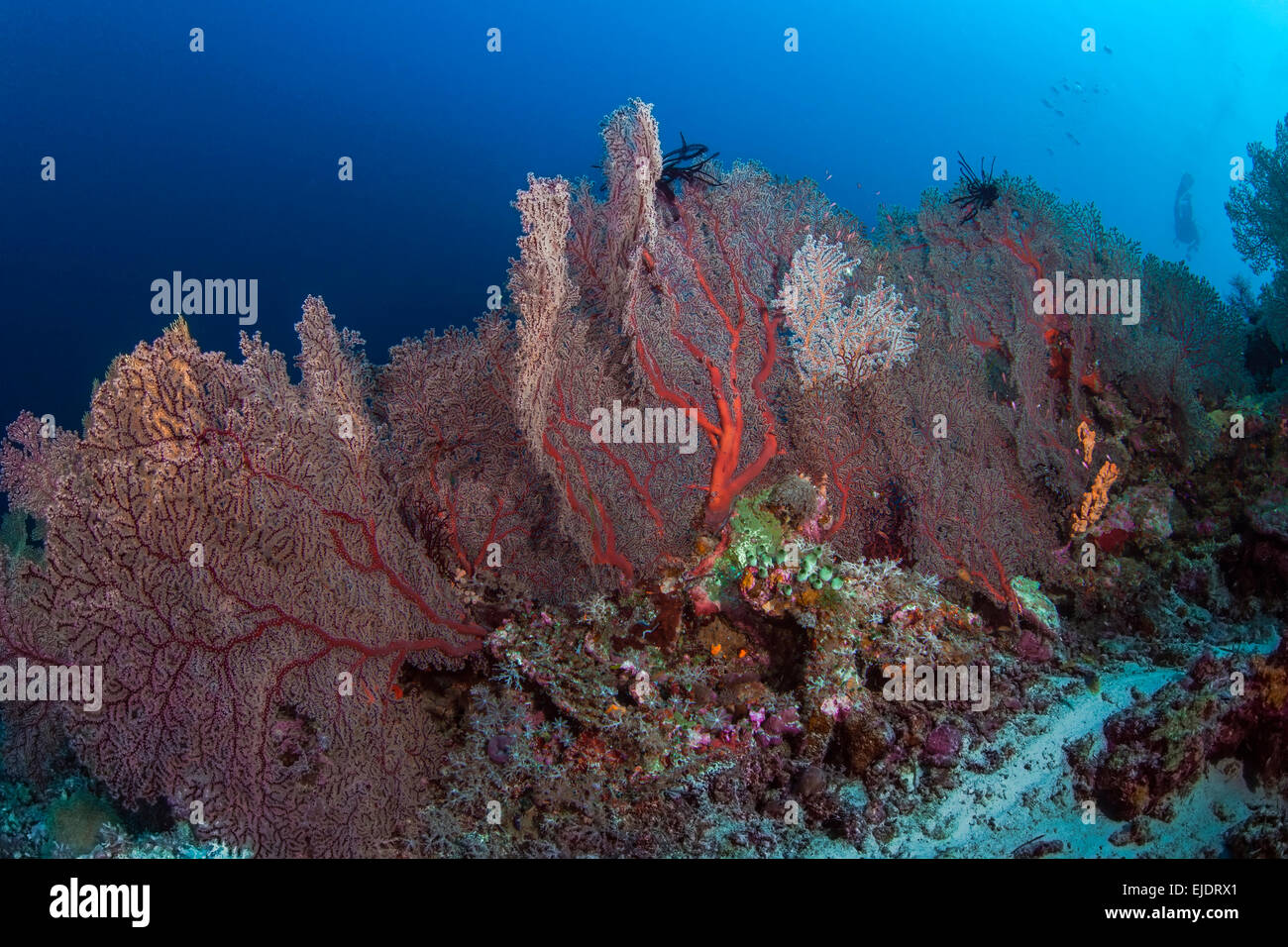 Large colony of red gorgonian sea fans - Stock Image