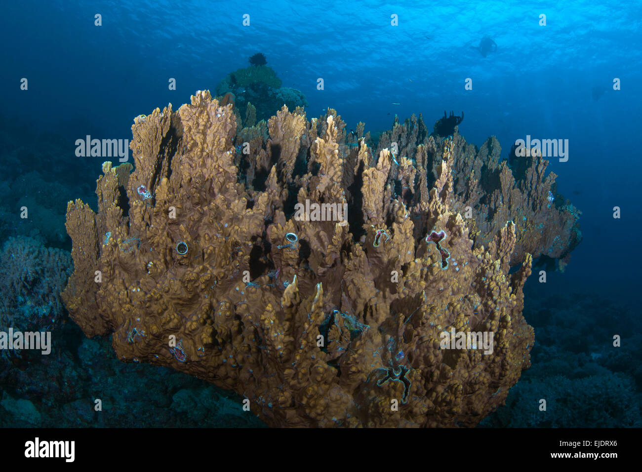 Columnar hard coral colony (Montipora sp.) appears to float above sea floor, with divers silhouetted in blue water - Stock Image