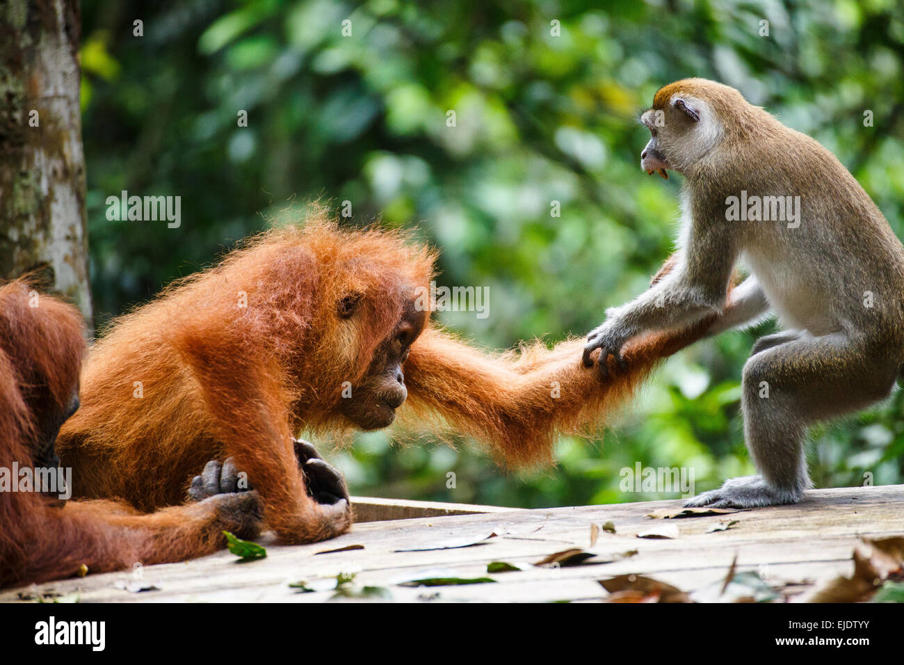 A child Sumatran orangutan (Pongo abelii) fights with a macaque in Gunung Leuser National Park in Northern Sumatra. - Stock Image