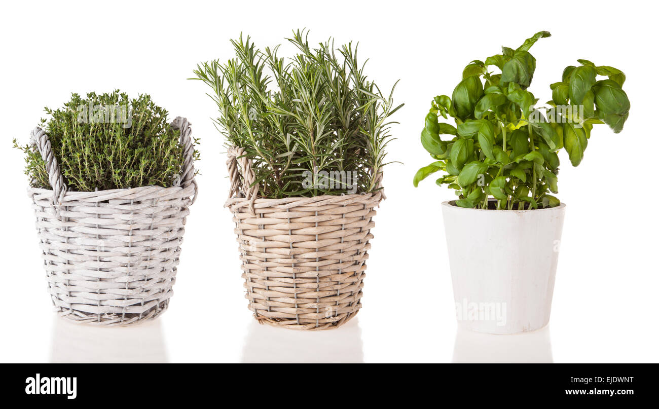 Basil, rosemary and marjoram in pots, isolated on white background - Stock Image