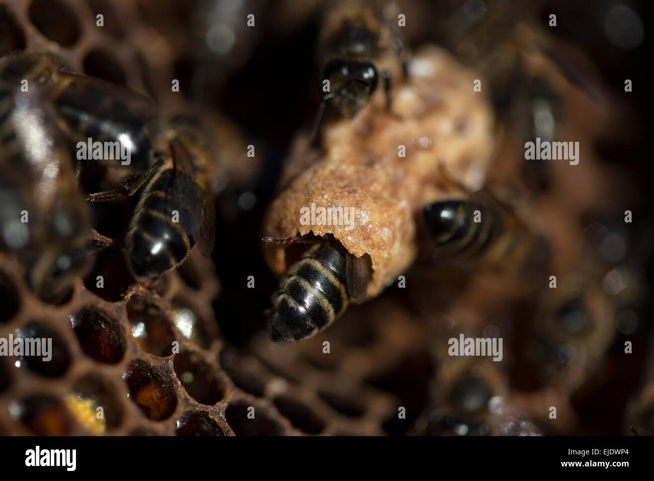Nurse bees take care of a queen bee egg in a queen cup on a beehive of the apiary of Puremiel beekeepers in Arcos - Stock Image