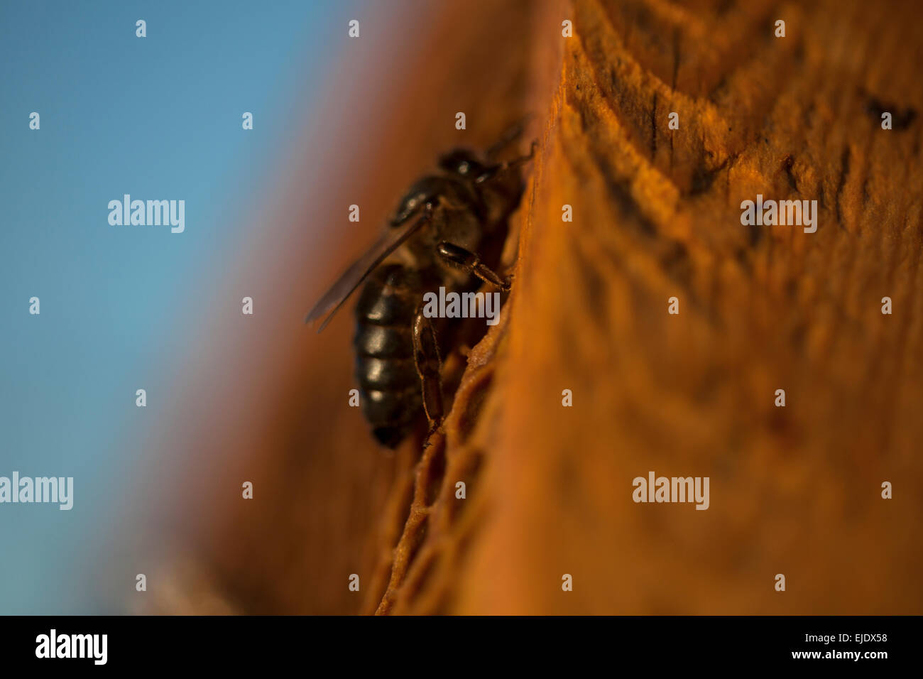 A queen bee walks in the center of a beehive of the apiary of Puremiel beekeepers in Arcos de la Frontera, Cadiz - Stock Image