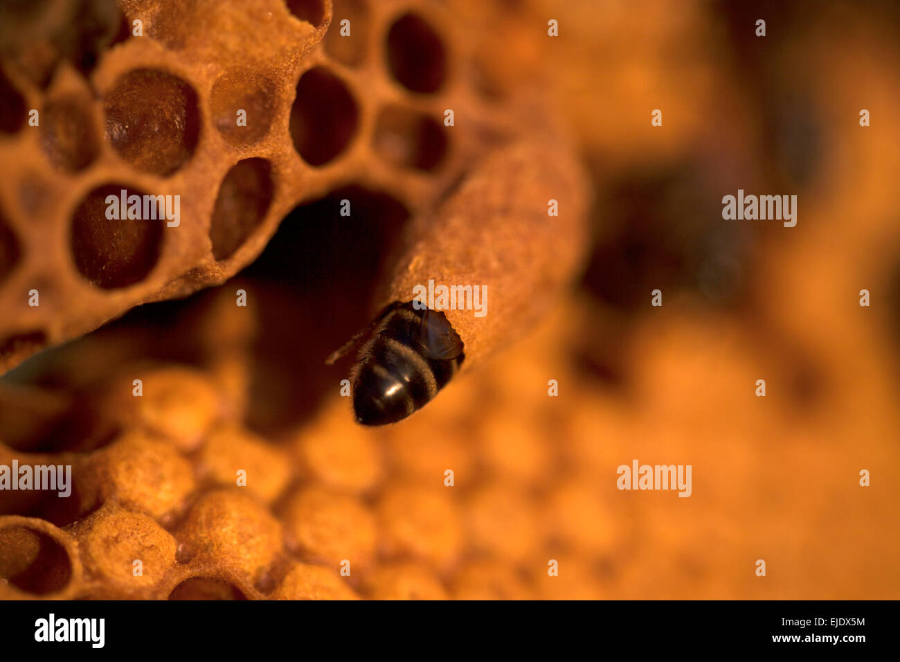 A nurse bee takes care of a queen bee egg in a queen cup on a beehive of the apiary of Puremiel beekeepers in Arcos - Stock Image