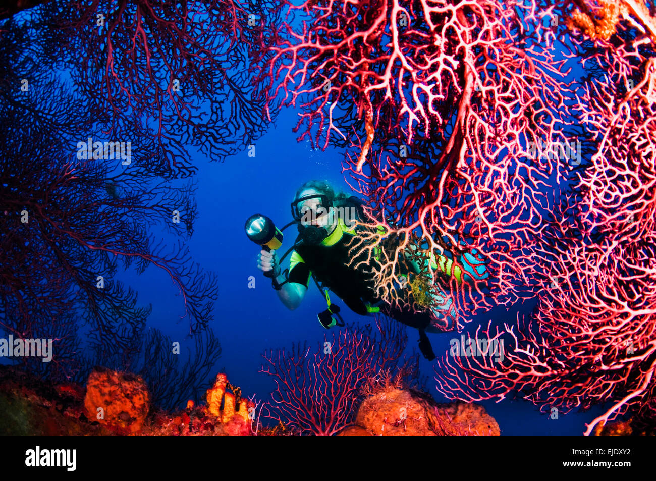 A diver explores sea fans growing on Lesleen M freighter wreck off Castries, St. Lucia. - Stock Image