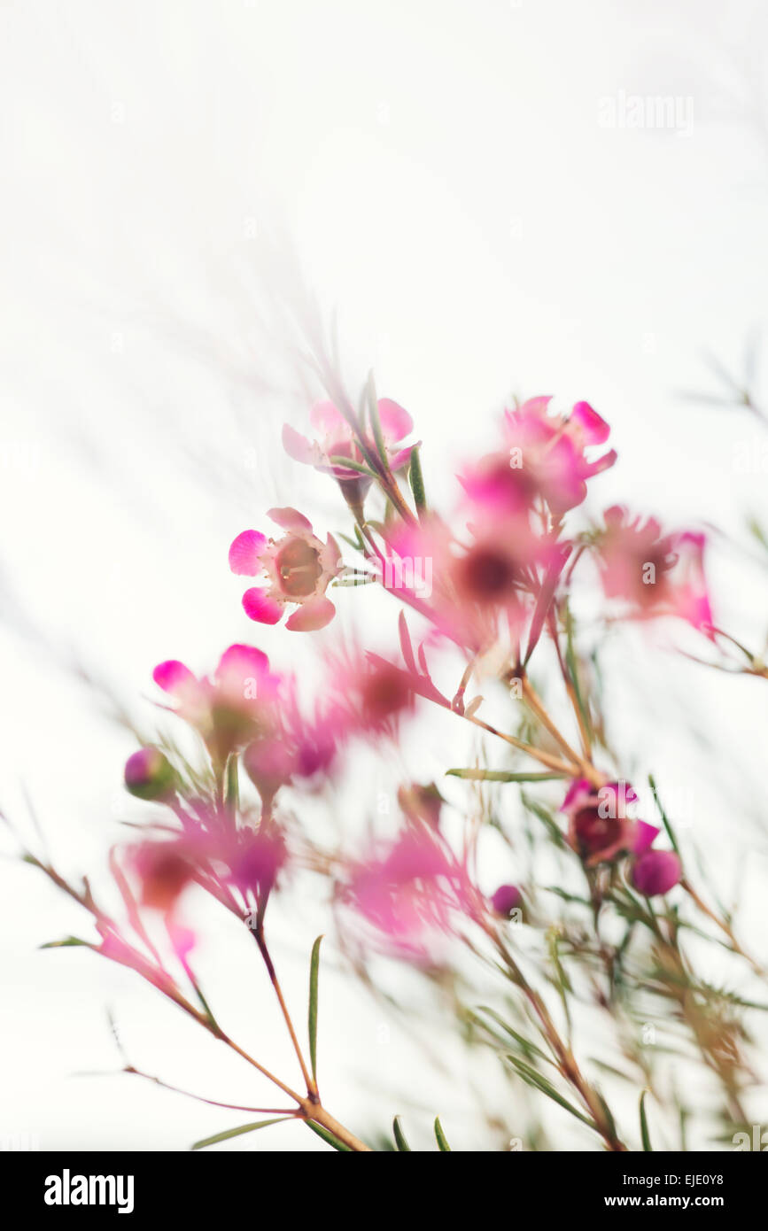 Geraldton wax flowers pink white stock photo 80213372 alamy geraldton wax flowers pink white mightylinksfo