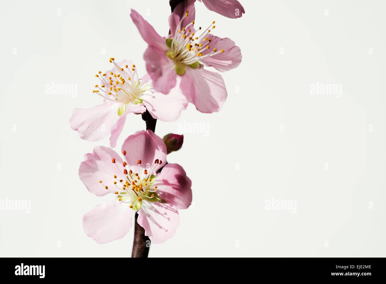 peach blossom branch - Stock Image