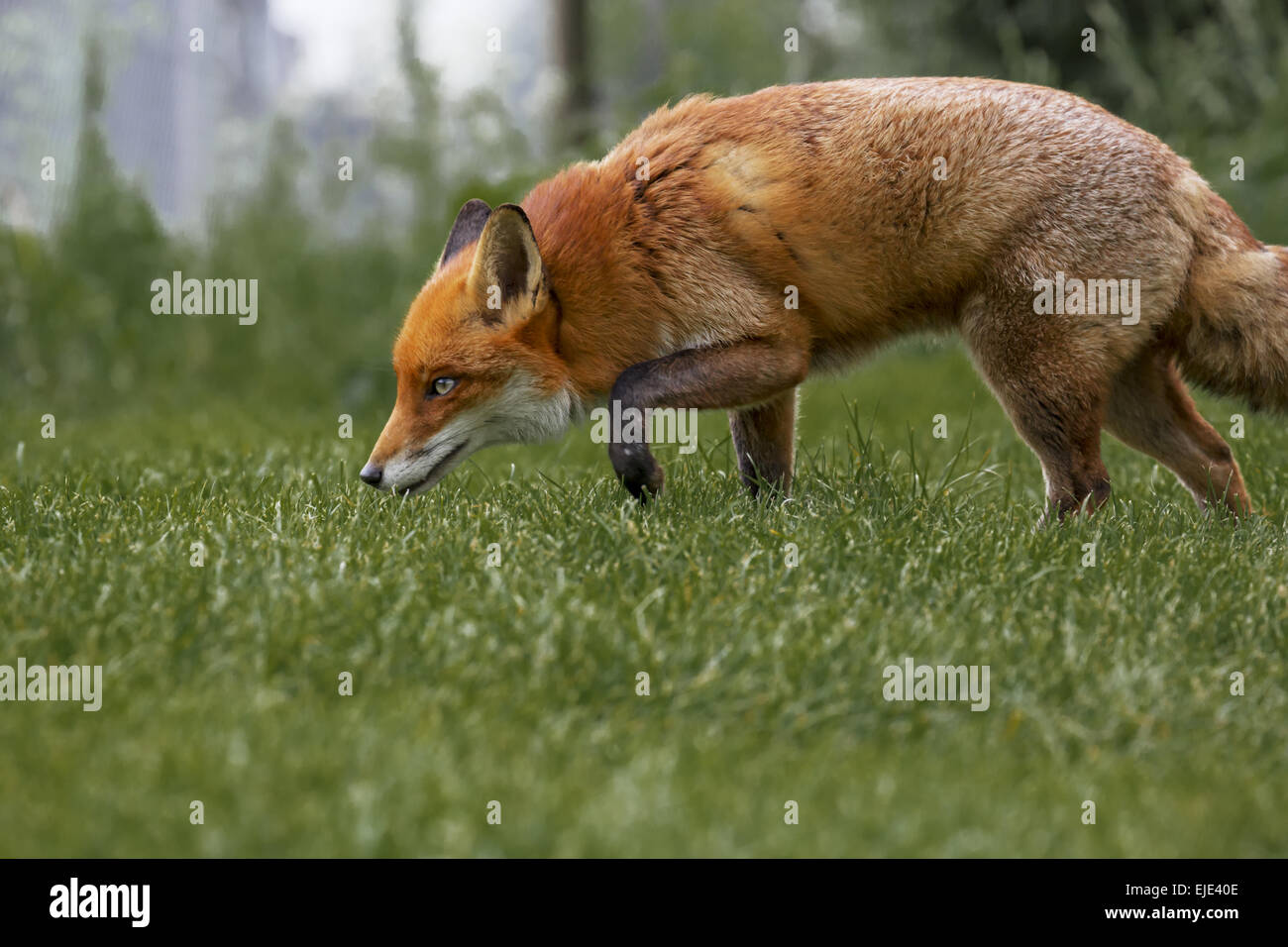 British Red Fox - Stock Image