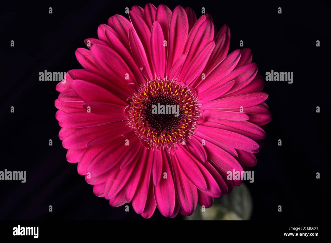 Pink Gerbera Daisy Stock Photos Pink Gerbera Daisy Stock Images