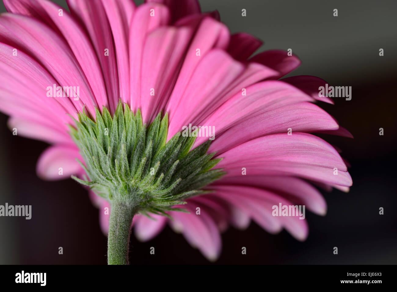 Underside daisy flower stock photos underside daisy flower stock underside of a pink gerbera daisy flower with a dark background stock image izmirmasajfo