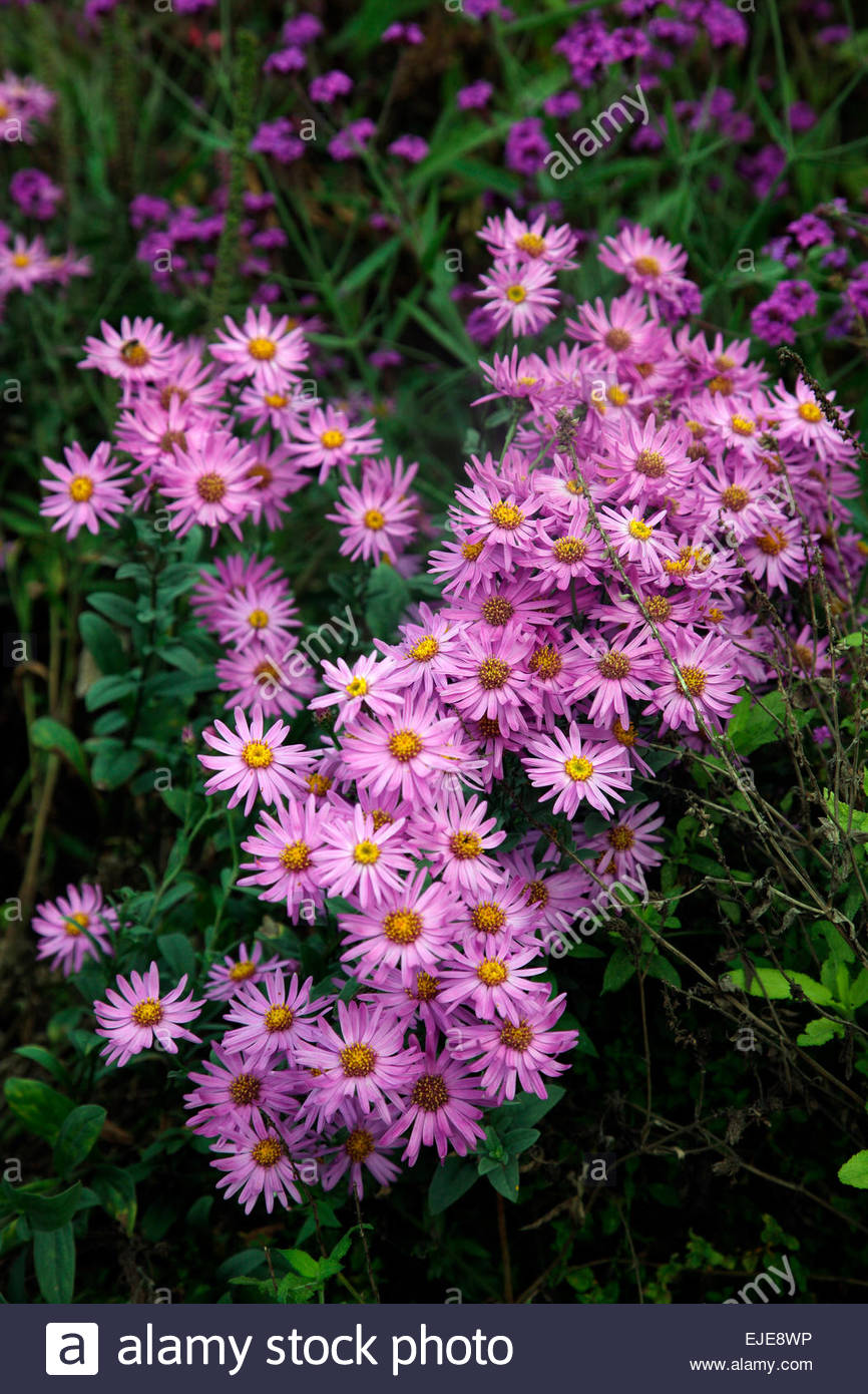 Herbaceous Perennial Plant September Autumn Late Daisy Flower Pink