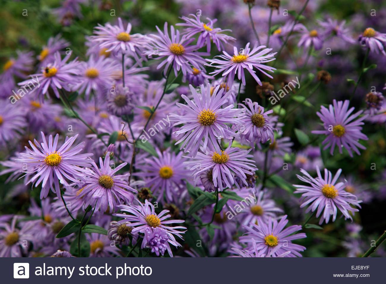 Herbaceous Perennial Plant September Autumn Late Daisy Flower Mauve