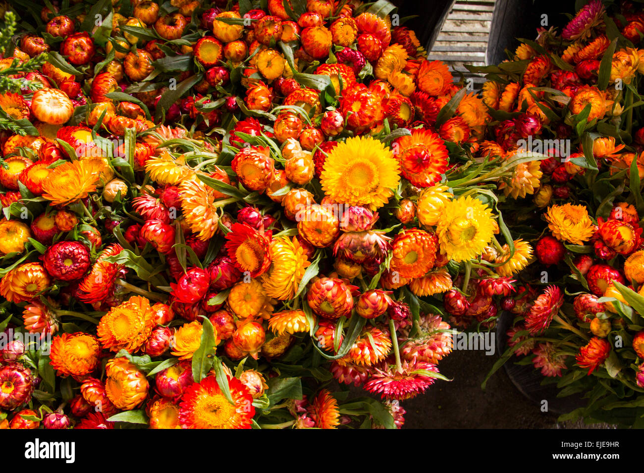 Strawflowers stock photos strawflowers stock images alamy colorful strawflowers at flower market in thailand stock image mightylinksfo