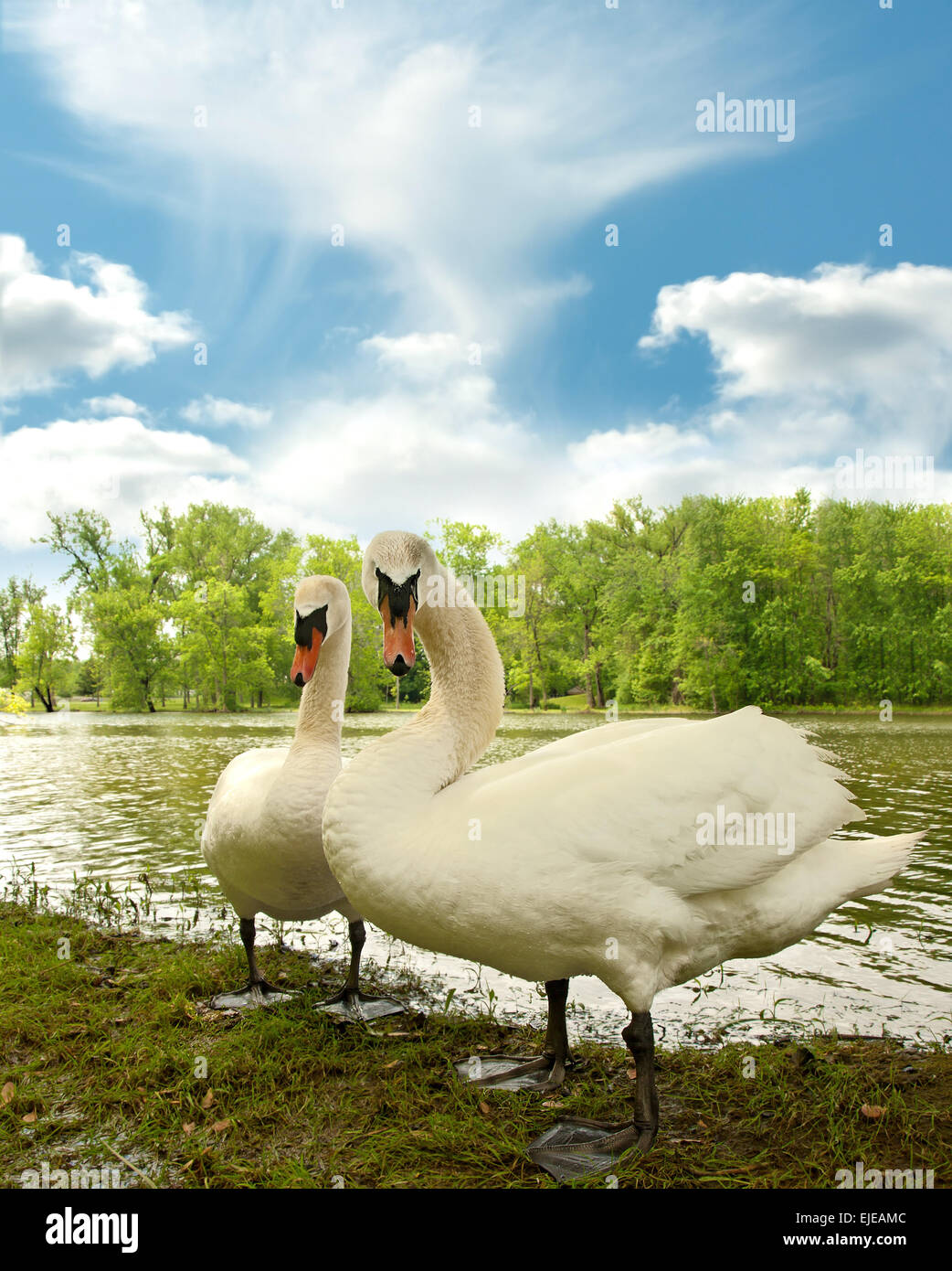 two Mute Swans on a lake shore Stock Photo