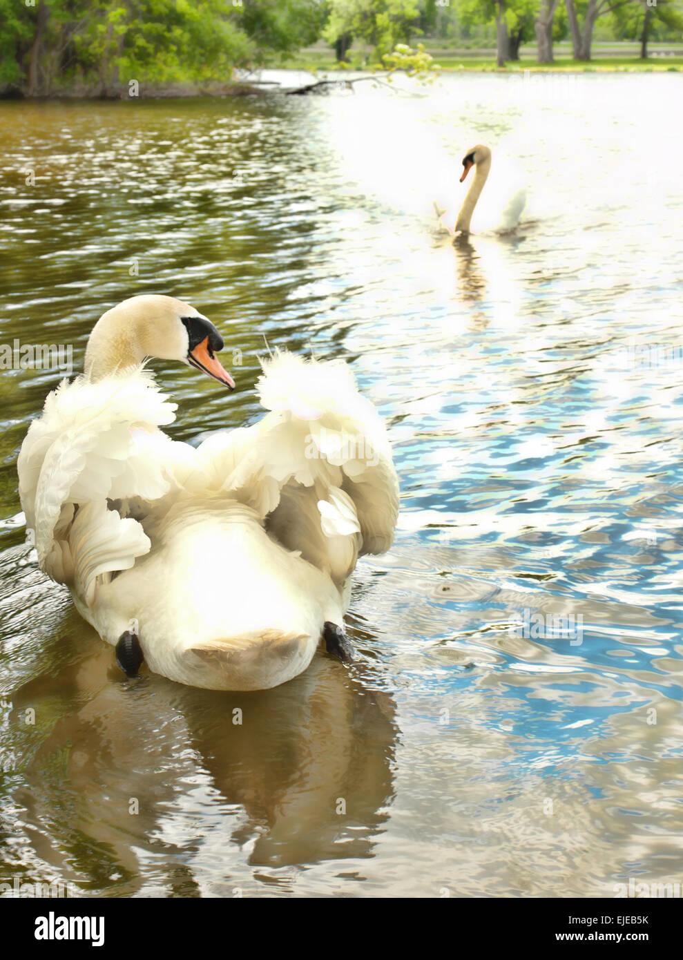 two beautiful swans Stock Photo