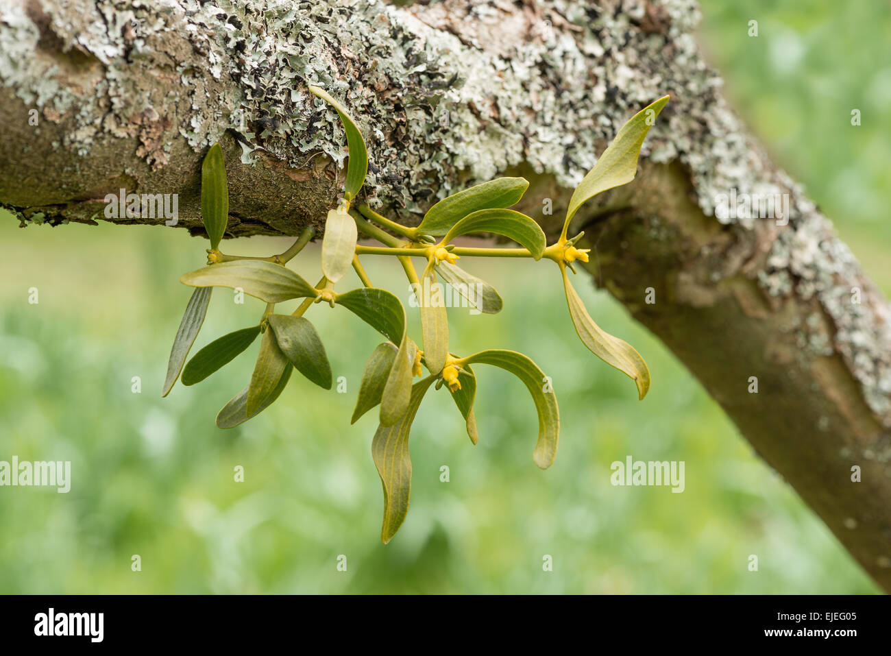 The Branching Holdfast Of A Mistletoe Bush Beneath Side Branch On An Old Apple Tree