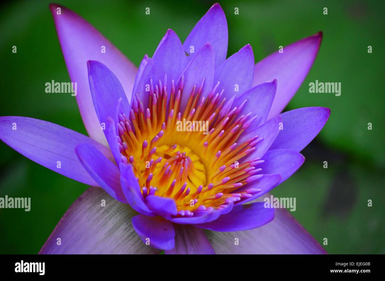 closeup of a lotus flower in a garden at agartala,tripura,india