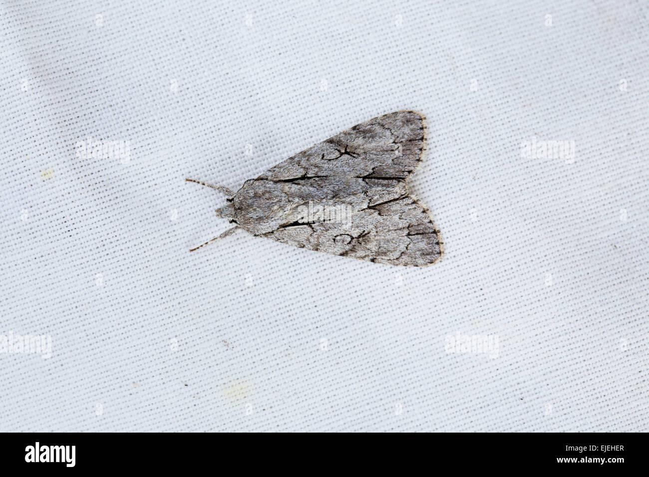 Grey Dagger Moth; Acronicta psi Single on White CLoth; Cornwall; UK - Stock Image