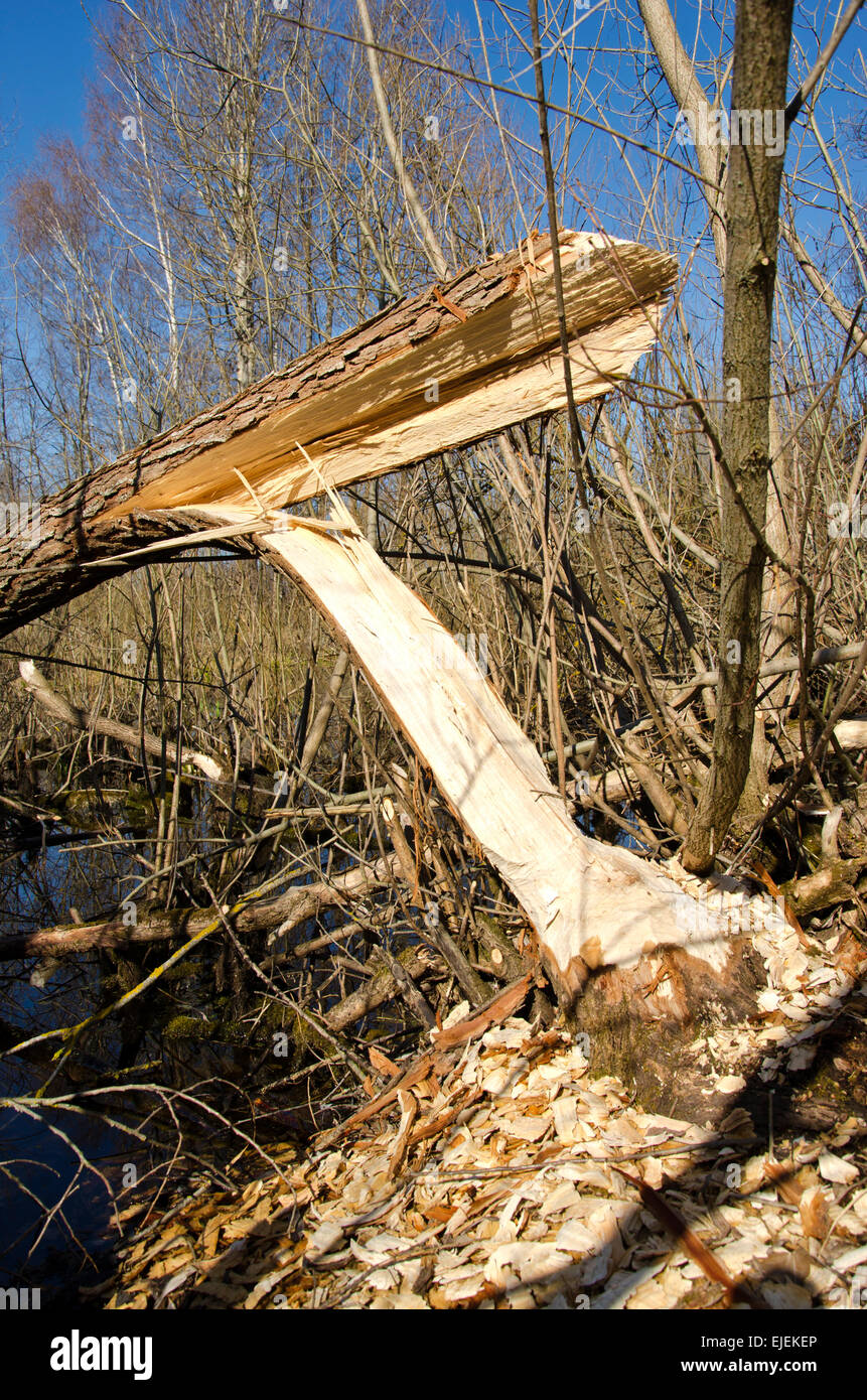 willow damaged by beaver in forest - Stock Image