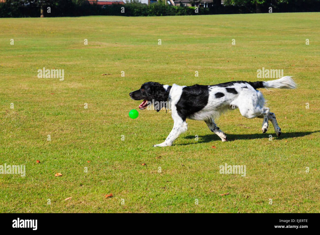 An adult Black and White English Springer Spaniel pet dog playing with a ball dropping from its mouth in a park. Stock Photo