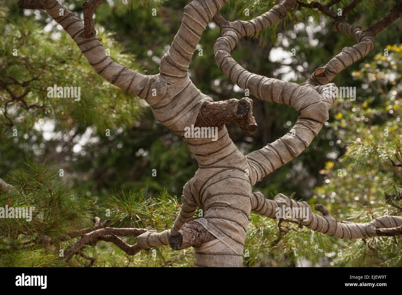 A carefully wrapped and sculpted pine tree in a Japanese garden ...