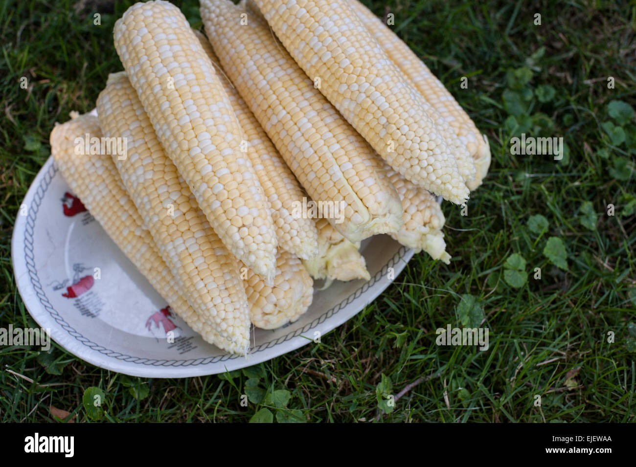 Peaches and cream (bicolour) corn husked and ready to cook on a platter on the grass. Stock Photo