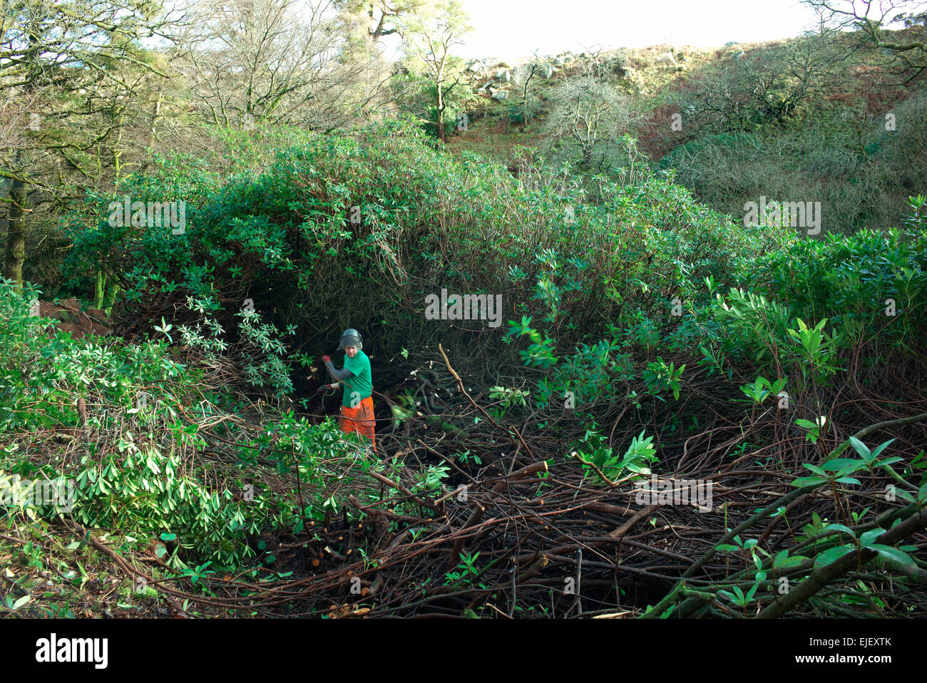 Rhododendron clearing on the river Avon north of South Brent , Dartmoor National Park  Devon England - Stock Image