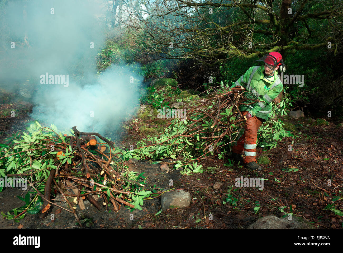 Rhododendron clearing on the river Avon north of South Brent , Stock Photo