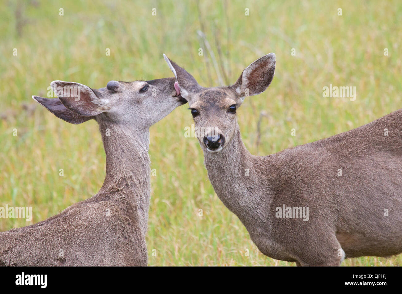 Young Blacktail Deer Buck and Doe Nuzzling - Stock Image