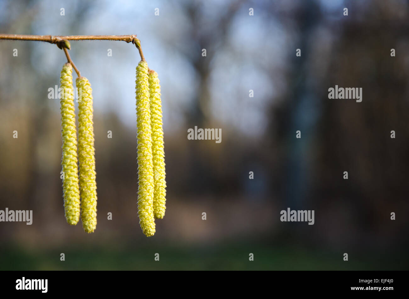 Hazel twig with blossom yellow hanging flowers - Stock Image