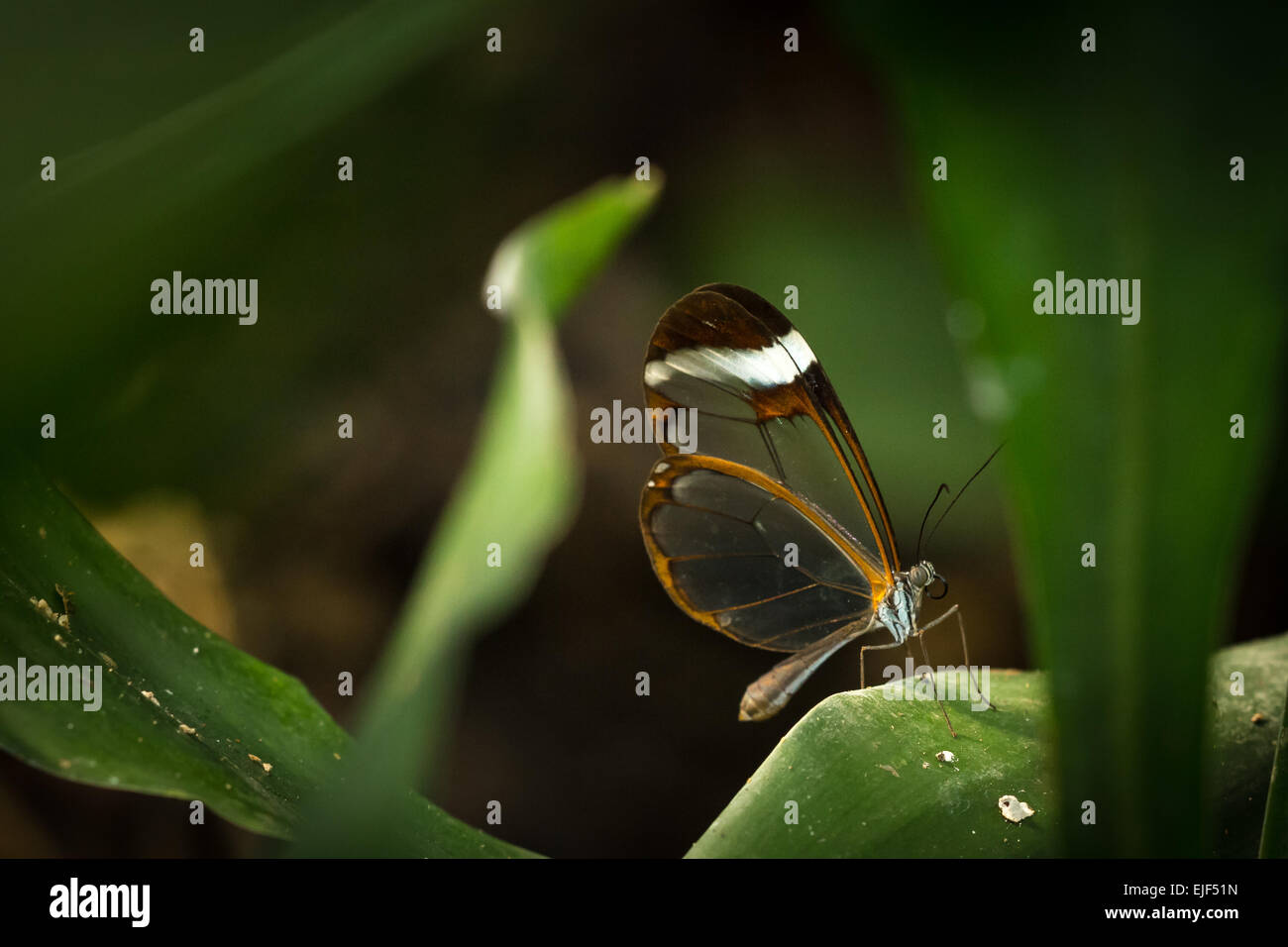 A brush-footed, Glasswinged butterfly hidden deep down the vegetation. Only a speck of light falls onto the butterfly - Stock Image