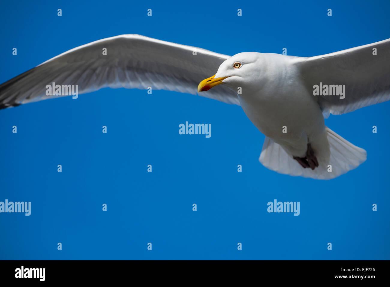 Herring gull gliding - Stock Image