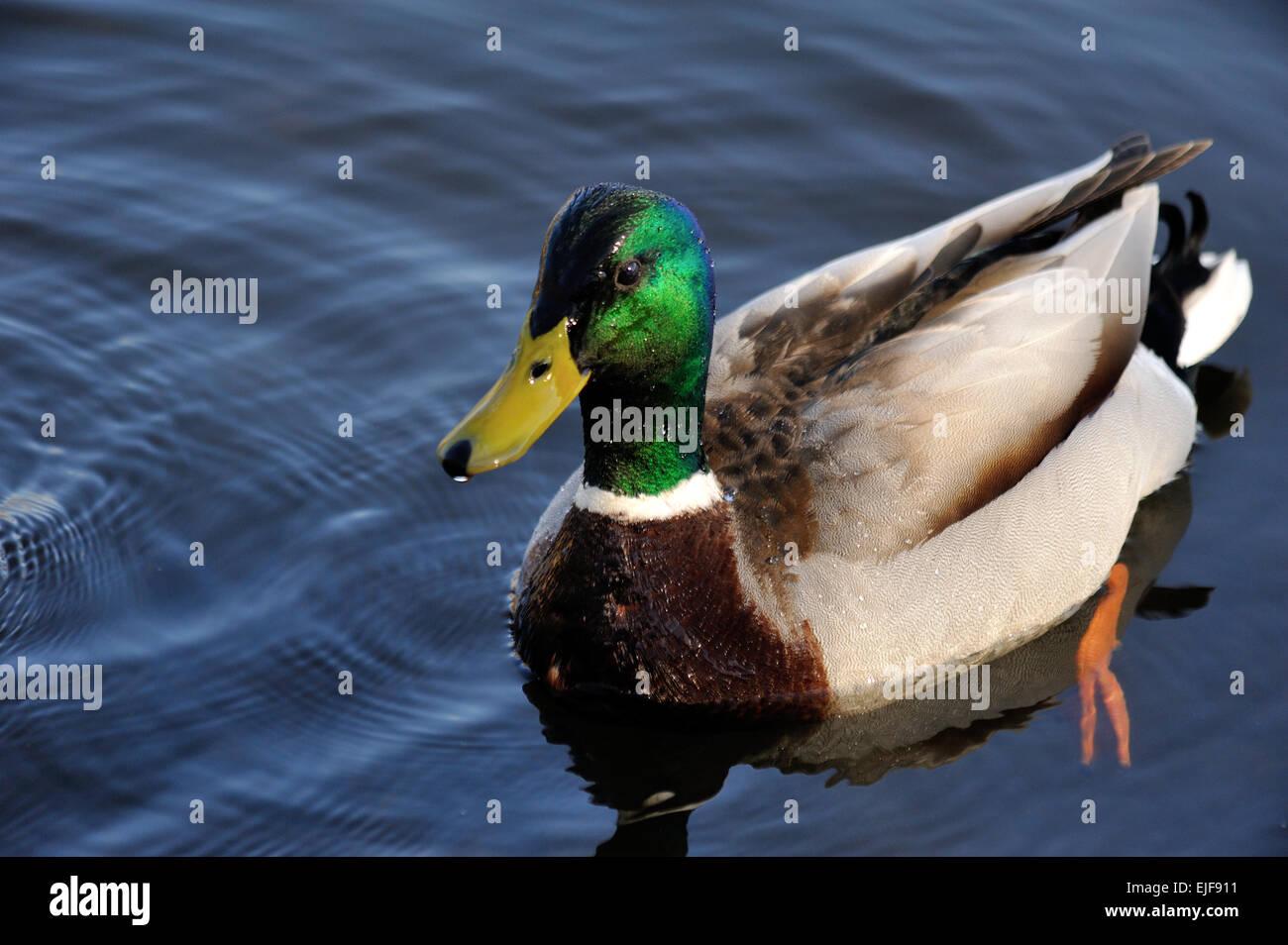 mallard duck male at the welsh wildlife centre cilgerran teifi marshes Stock Photo