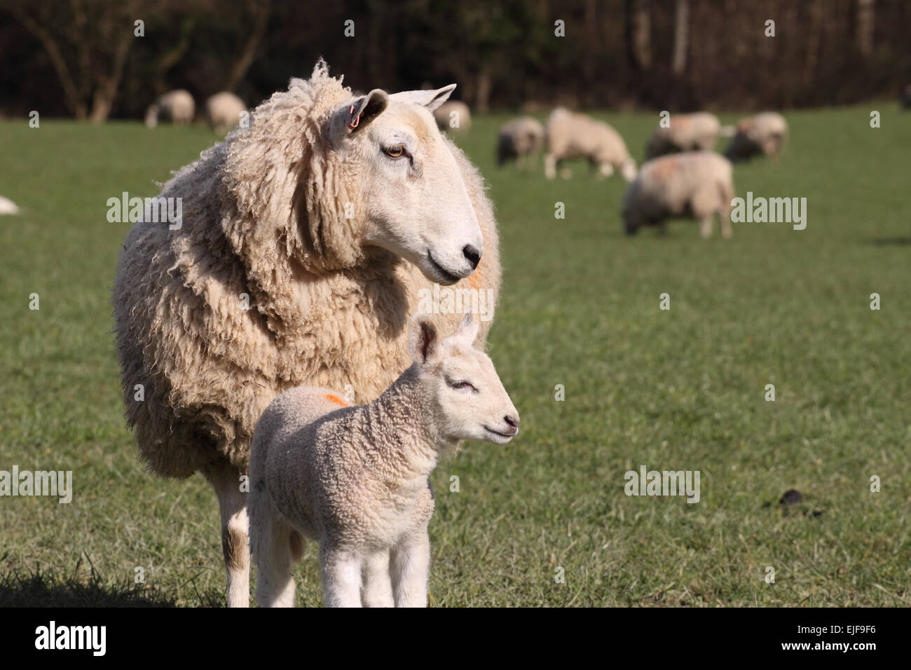Spring lamb and ewe sheep mother nuzzle together in March 2015 Wales UK - Stock Image