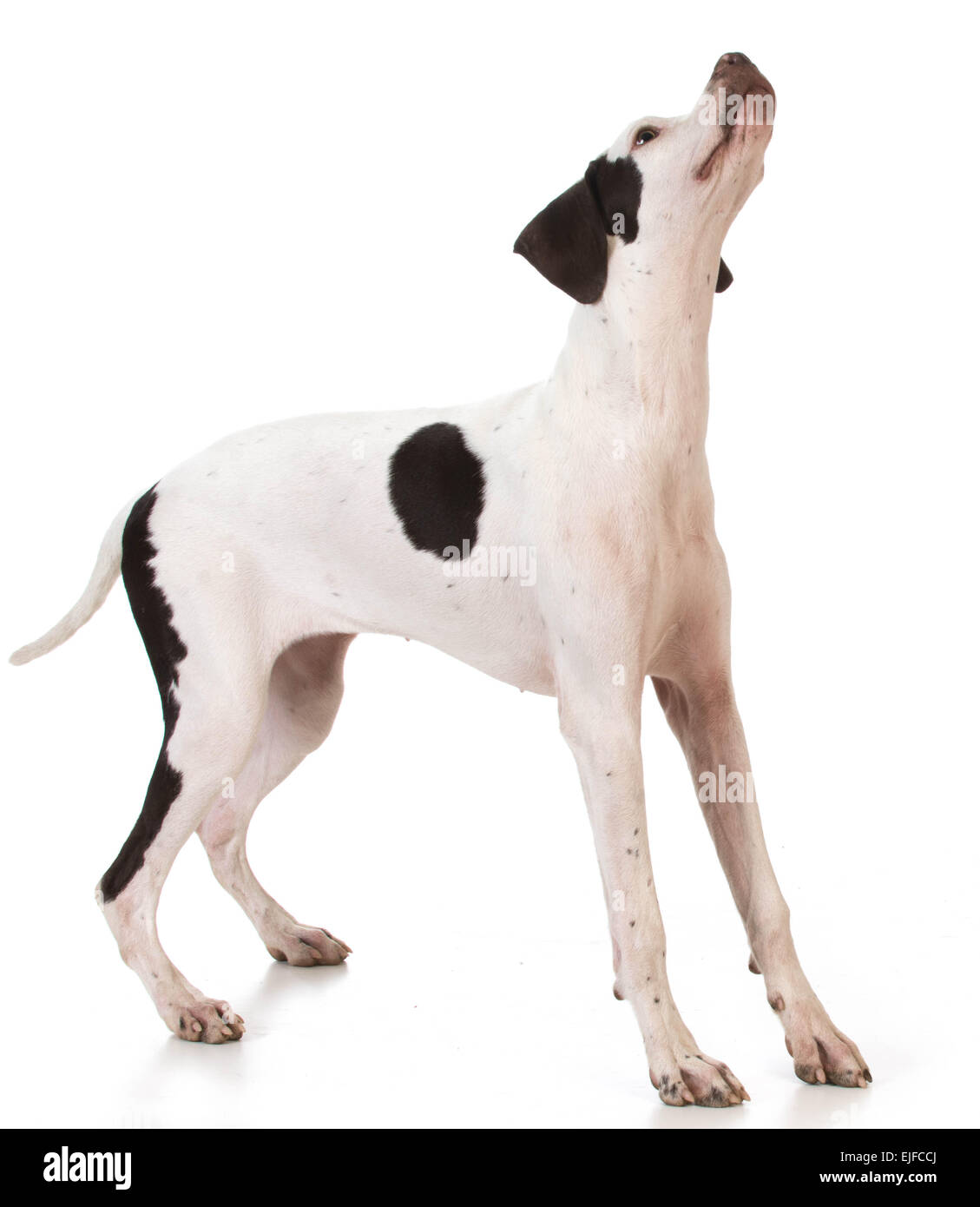 pointer puppy standing looking up on white background - Stock Image