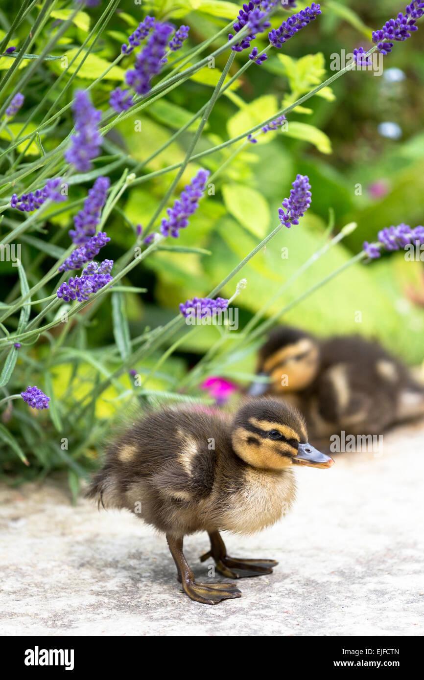 Cute fluffy newly hatched Mallard ducklings, Anas platyrhynchos, in England - Stock Image