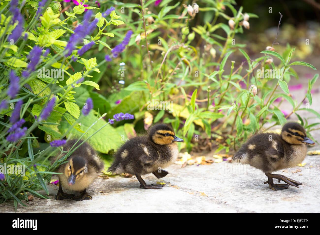 Cute fluffy newly hatched Mallard ducklings, Anas platyrhynchos, in England Stock Photo