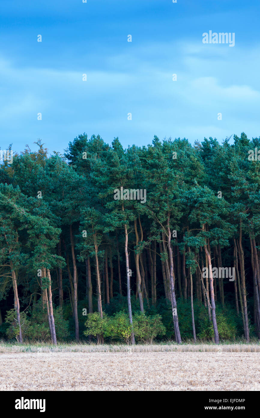 Evergreen coniferous forest of tall conifer and larch trees in the Cotswolds, UK - Stock Image