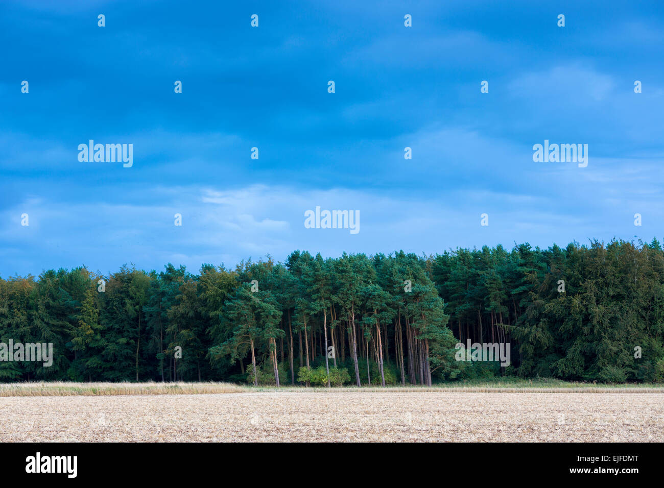 Evergreen coniferous forest of tall larch trees and conifers in the Cotswolds, UK - Stock Image