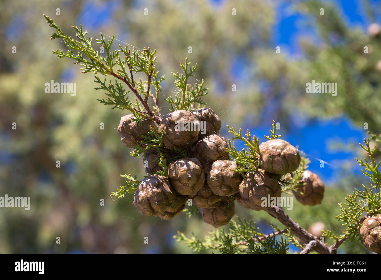 Pine cones forming on branch of conifer evergreen tree in Corfu, , Greece - Stock Image